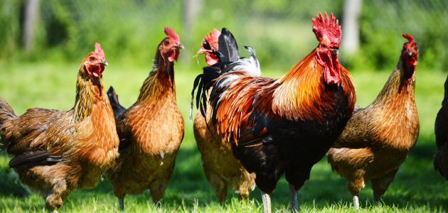 تربية_دجاج_البيض