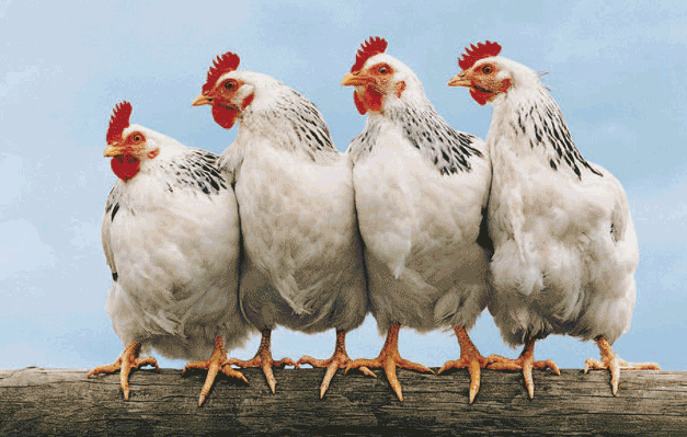 Poultry-grit_chickens