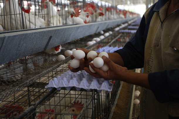 A Palestinian farmer collects eggs at chicken farm in the former Israeli settlement of Rafah Yam which was dismantled in 2005, close to Rafah, in the southern Gaza Strip on June 09, 2011. The eggs are for internal consumption in the Hamas-run Palestinian coastal territory. AFP PHOTO/ SAID KHATIB (Photo credit should read SAID KHATIB/AFP/Getty Images)